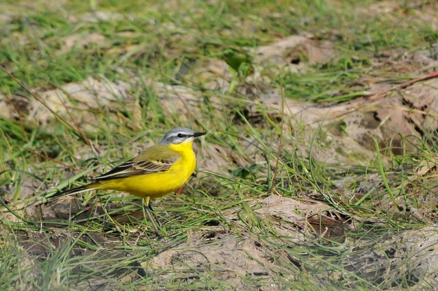 Yellow Wagtail (Motacilla flava) photo