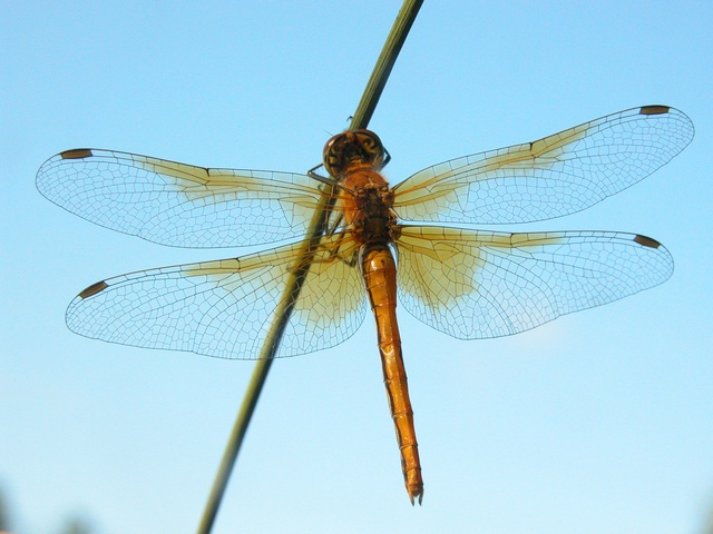 Yellow-winged Darter (Sympetrum flaveolum) photo