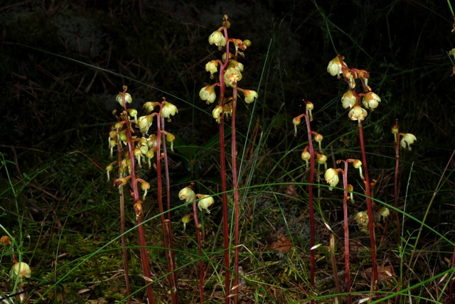 Yellow Wintergreen (Pyrola chlorantha) photo