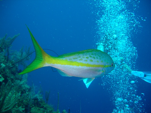 yellowtail amberjack (Seriola lalandei) photo