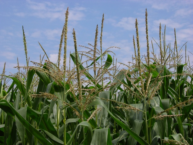 Image of Zea mays