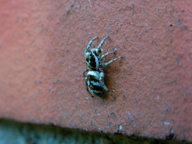 Zebra Jumping Spider. (Salticus scenicus) photo