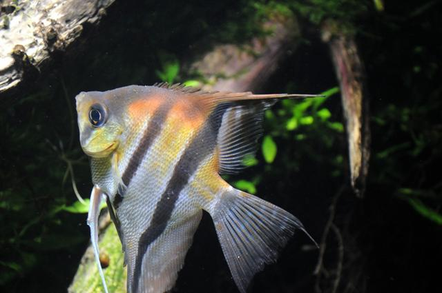 Zebra Smoke Scalare (Pterophyllum scalare) photo