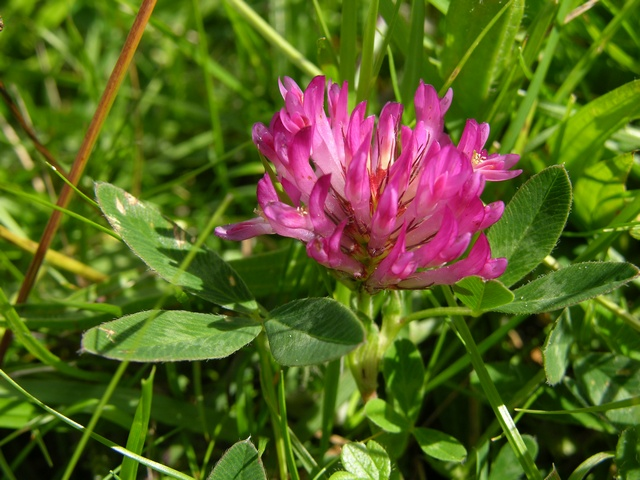 Zig-zag Clover (Trifolium medium) photo
