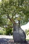 Queensland Bottle Tree (Brachychiton rupestris)