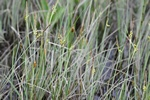 Livid Sedge (Carex livida)
