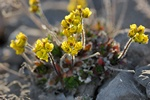 Alpine Whitlowgrass (Draba alpina)