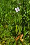 Marsh Willowherb (Epilobium palustre)