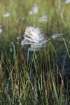 Common Cottongrass (Eriophorum angustifolium)