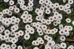 New Zealand Everlastingflower (Helichrysum bellidioides)