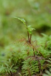 Stair-step moss (Hylocomium splendens)