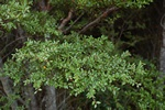 New Zealand Black Beech (Nothofagus solandri var. solandri)
