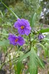 Kangaroo-apple (Solanum laciniatum)
