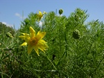 Yellow Pheasant´s-eye (Adonis vernalis)