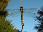 Common Hawker (Aeshna juncea)