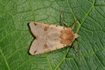 Brown-spot Pinion (Agrochola litura)