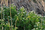 Jack-by-the-hedge, Garlic Mustard (Alliaria petiolata)