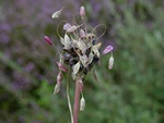 Field Garlic (Allium oleraceum)