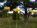 Yellow Chamomile (Anthemis tinctoria)