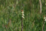 Tower Mustard (Arabis glabra)