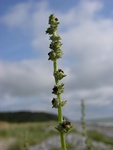 Grass-Leaved Orache (Atriplex littoralis)