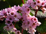 Heart-leaved Elephant-ears (Bergenia cordifolia)