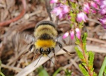 Small Heath Bumblebee (Bombus jonellus)