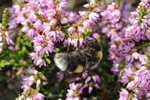 White-tailed bumble bee (Bombus lucorum)