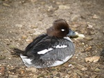 Common Goldeneye (Bucephala clangula)