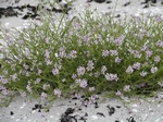 Sea Rocket (Cakile maritima)