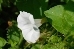 Hedge Bindweed - Great Bindweed Ssp (Calystegia sepium)