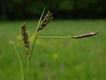 Carnation Sedge (Carex panicea)