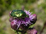 Rose Chafer (Cetonia aurata)