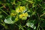 Opposite-leaved Golden Saxifrage (Chrysosplenium oppositifolium)
