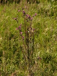 Marsh Thistle (Cirsium palustre)