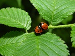 Sevenspotted Lady Beetle (Coccinella septempunctata)