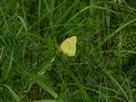 Dark Clouded Yellow (Colias croceus)