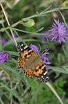 Painted Lady (Cynthia cardui)
