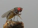 Fruit fly (Drosophila melanogaster)