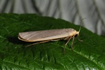 Common Footman (Eilema lurideola)