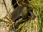 European Pond Turtle (Emys orbicularis)