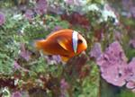 Tomato clownfish (Amphiprion frenatus)