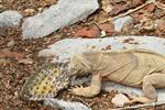 Barrington Land Iguana (Conolophus pallidus)