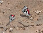 Eighty-eight (Diaethria clymena)