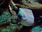 Spotted moray (Gymnothorax isingteena)