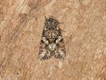 Beautiful Brocade (Lacanobia contigua)