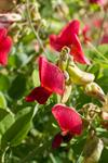 Round-leaved Vetchling (Lathyrus rotundifolius)