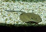 Smooth Back River Stingray (Potamotrygon orbignyi)