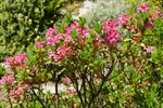 Hairy Alpenrose (Rhododendron hirsutum)