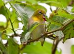 Japanese White-eye (Zosterops japonicus)